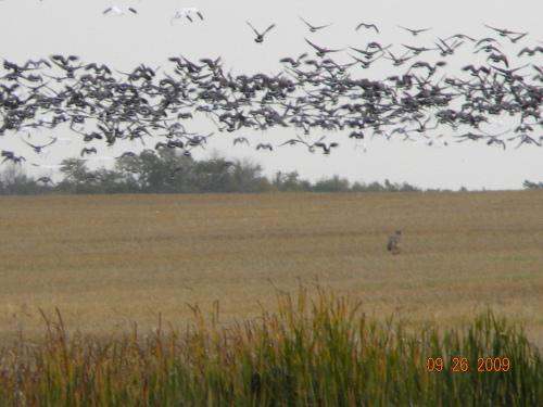 Fowl In Flight